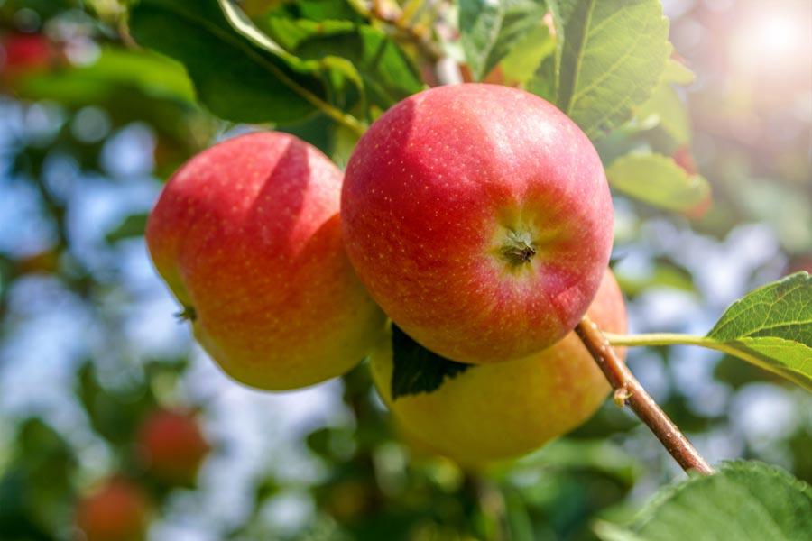 delicious apples make tasty cider