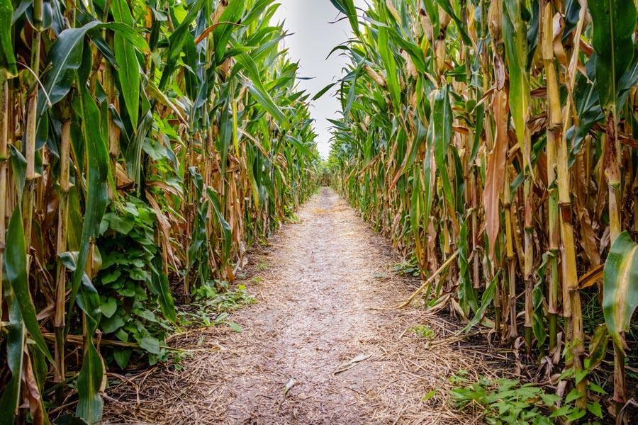 visit a Berkshires corn maze