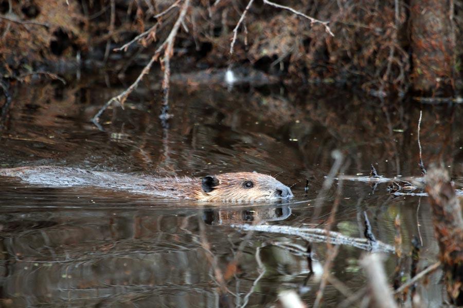 wild beaver at Pleasant Valley Wildlife Sanctuary
