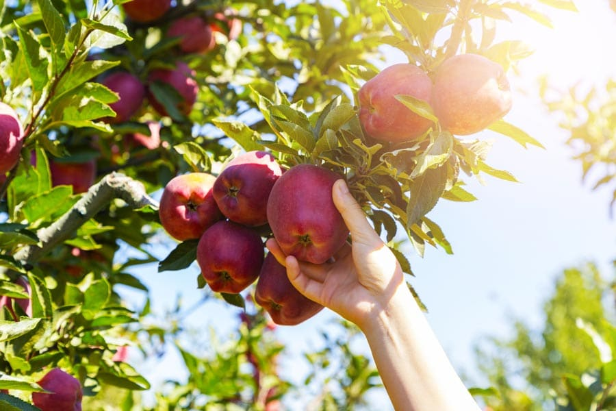 Pick Your Own Apples at Bartlett's Orchard